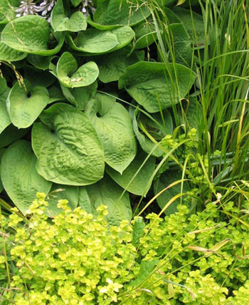 With Golden Marjoram and Bowles Golden Grass.