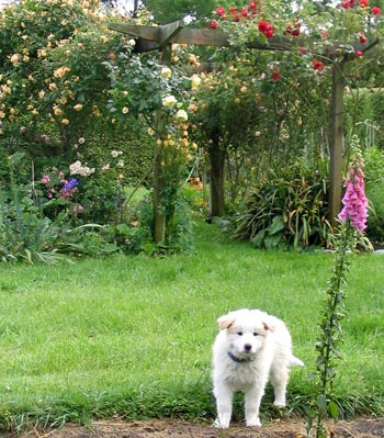 A red border collie, the rose Crepuscule, and an unknown red climber.