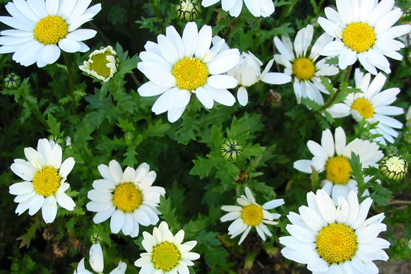 These daisies self-seed every spring and every autumn.