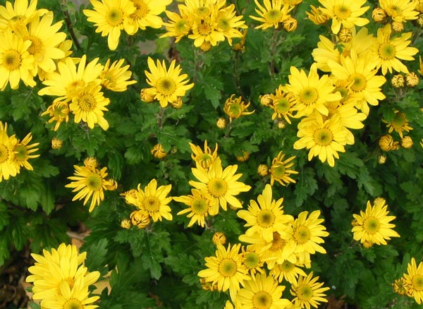 This is the only chrysanthemum I grow!