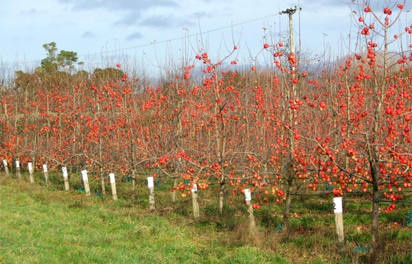 This orchard had lots of apples left on the trees.