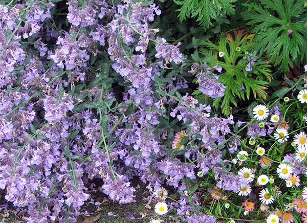 A favourite cottage garden combination - the daisy self seeds everywhere, though!.
