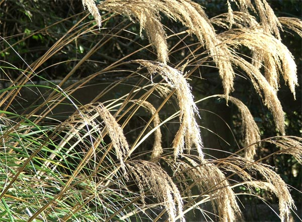 This is one of the lovely ornamental grasses by the woodshed.