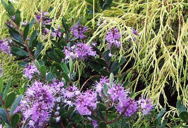 Hebes are beautiful shrubs - but they do need watering!