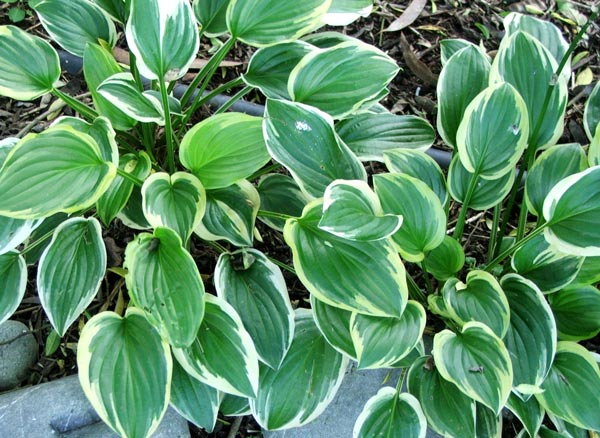  Some of the hostas which already live in the quiet shade of the Willow tree. 