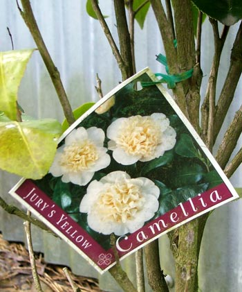 So I'll know at least one Camellia name this coming spring!
