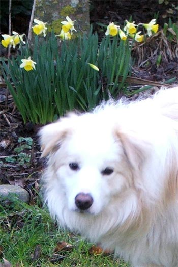 A beautiful dog in front of the first daffodils.
