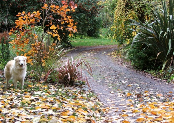 More late autumn leaves which need raking up.