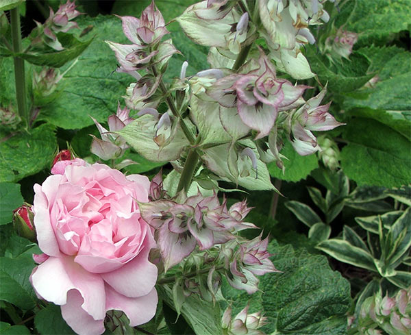Clary sage is a great short-lived perennial for textural interest.