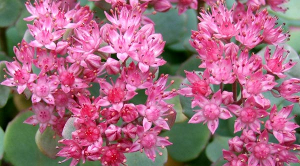 This sedum grows in one of my pots.