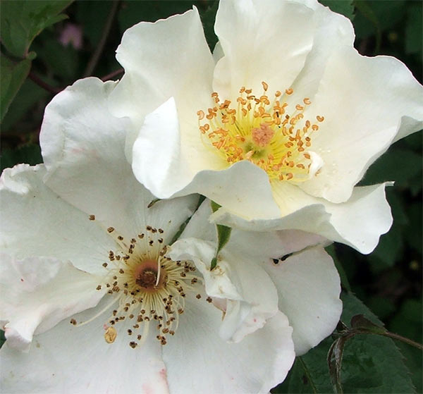 One of the white Sparieshoop roses growing by the pond arch.
