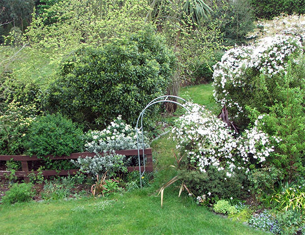 The Clematis is running riot through the Septic Tank Garden.