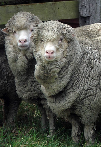 A photograph taken just before shearing - what woolly faces!