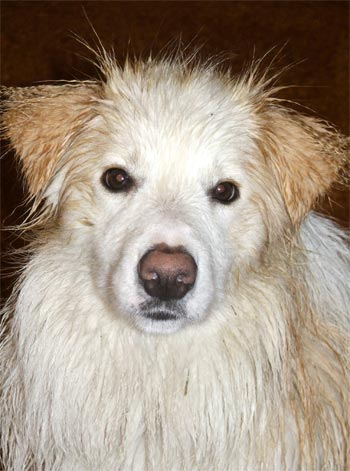  Rusty the puppy showing you his wet look - crimped hair on ears, a darker shade of orange! 