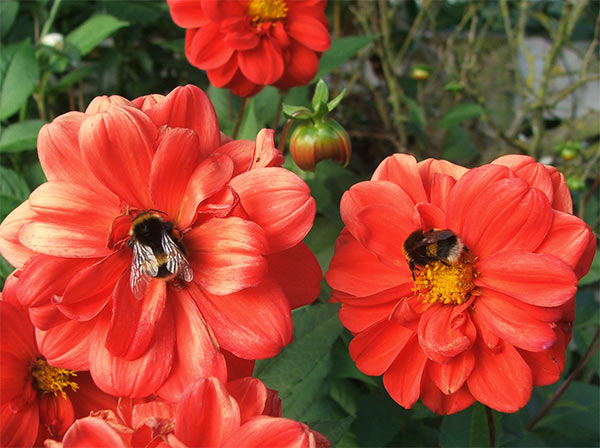 I love the red dahlias in my garden - as do the bees!