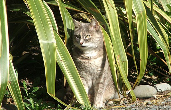 My old grey striped tabby hiding in the flax.