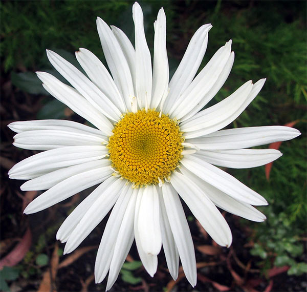 These perennial daisies are always flowering in January.