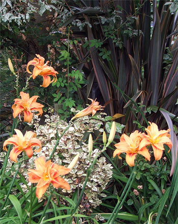 Beautiful double orange flowers - these daylilies bloom late in summer.