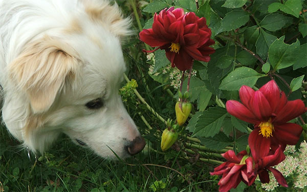 I dont think dahlias smell very nice!