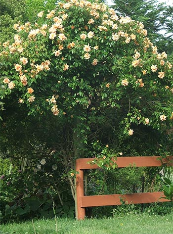 It's Crepuscule the climbing rose's flowering time again.