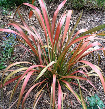 A red and green Phormium.