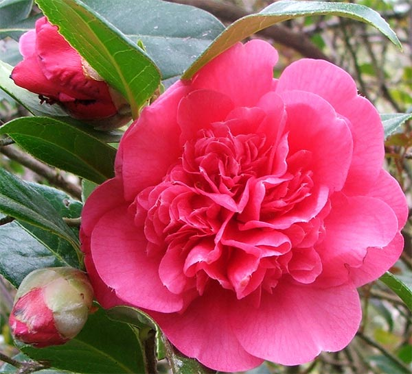 One of my .lovely original Camellias.