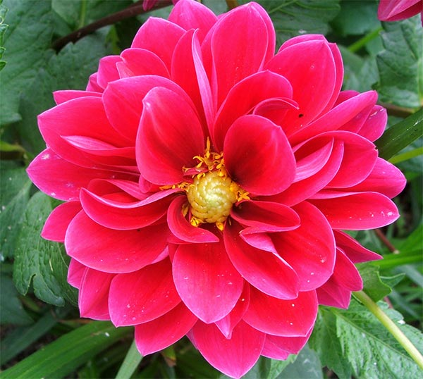 My cerise dahlias flower on and on and on - until the first frost.
