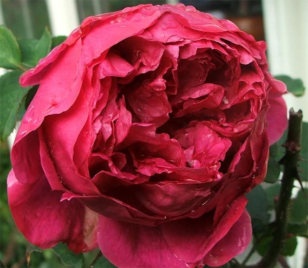 Othello does this late blooming every year. Silly rose!