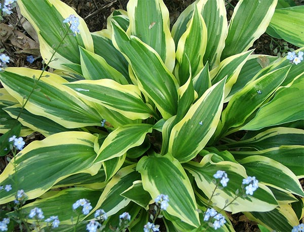 This is one of my new hostas - name unknown.