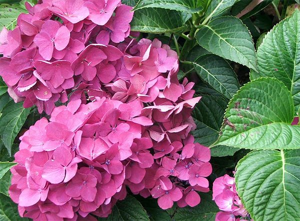 One of the small hydrangea shrubs that I grow and love,