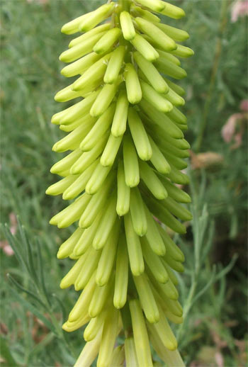  I think this is called a kniphofia - but my spelling might be a bit dodgy! 