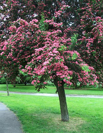 One of the beautiful flowering cherries in Regent's Park.