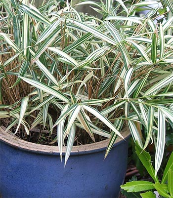 My big blue pot is full of an unknown variegated plant, suspected to be invasive.