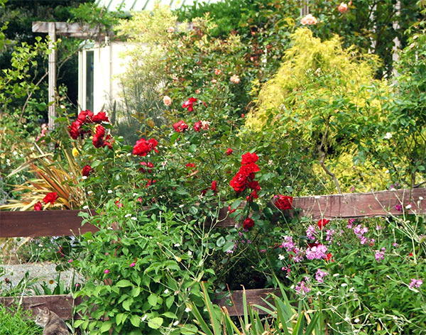 Summer sunshine and red fence-line roses - and the odd conifer glowing lime green