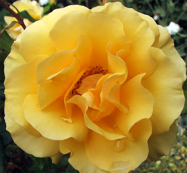 My roses get ognored at this time of the year - but they are definitely still out there flowering!