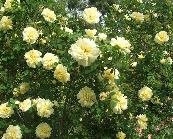  A beautiful tall shrubby rose. 