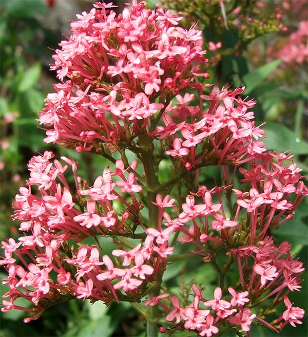 I think this is properly called False Valerian - am I right? Hmm...