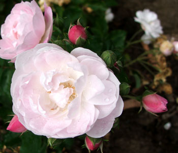 My newest rose, planted in the shrubbery.