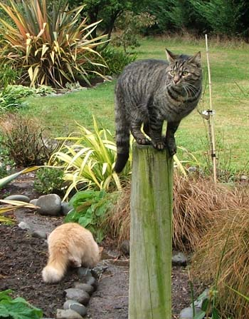 Histeria on the post, Fluff-Fluff below on the path.