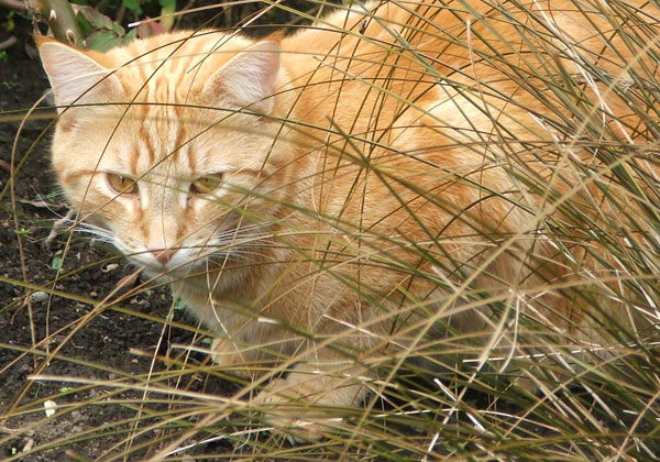 Cats love to hide in the tussock grass.