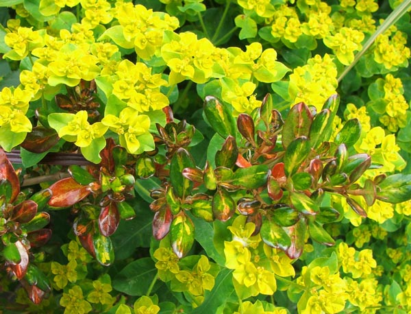 A lovely foliage pair, even if the euphorbia is a nuisance and seeds everywhere!