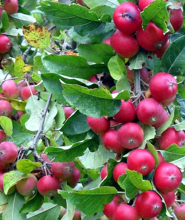 This winter I might make some crab-apple jelly.