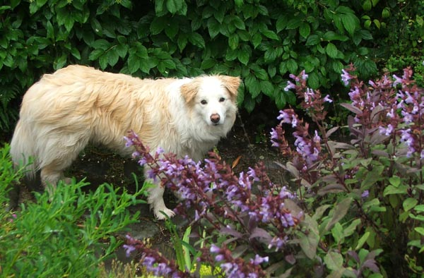Rusty in the Salvias.