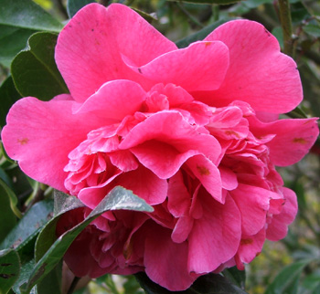 A later-flowering deep pink shrub near the house.
