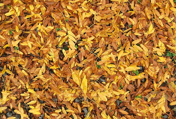 A carpet of gold in the driveway.