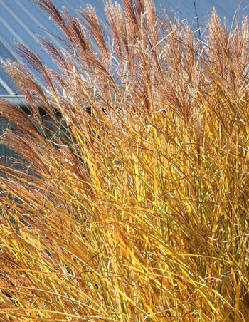 I think this is a Miscanthus.