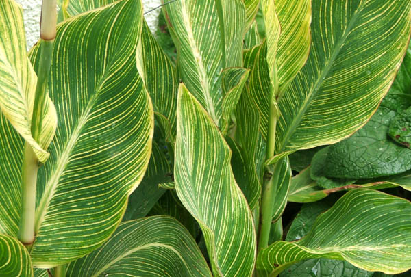  With the most beautiful stripes on their leaves. 
