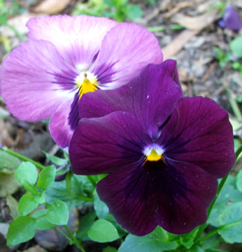 Pockets of pansies are still flowering.