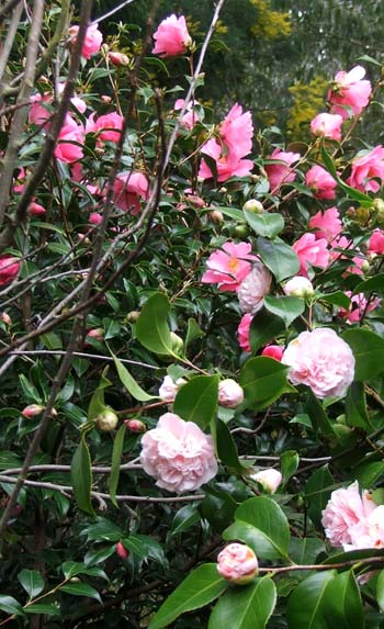 Two shrubs flowering side by side.