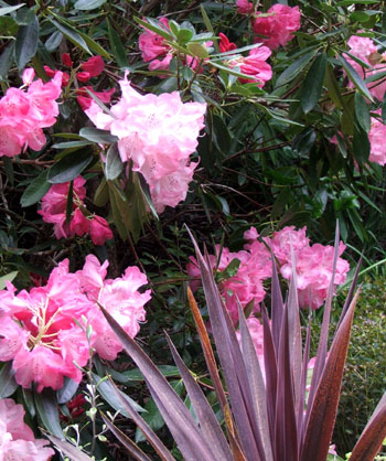 My favourite rhododendron, with partner Cordyline.